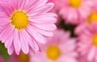 Сорт хризантемы: Земфира