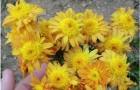Сорт хризантемы: Злата