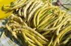 Сорт фасоли: Золотая шейка
