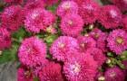 Сорт хризантемы: Зухра