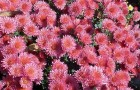 Сорт хризантемы: Звездная ночь