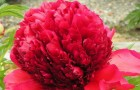 Сорт пиона: Красный шар