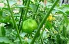 Старейшие помидоры в мире