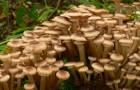 Сушка сморчковых грибов