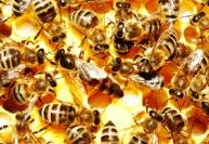 Особенности медоносных пчел