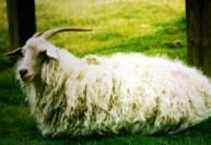 Породы коз