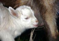 Разведение овец и коз