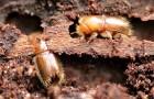 Скользкая кора защищает деревья от жучков