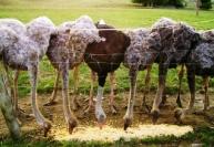 Уход и содержание страусов