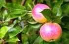 Волшебные яблочки помогут от прыщей