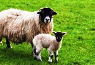 Выращивание овец и коз