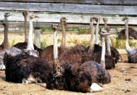 продукция страусоводства