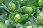 Использование белокочанной капусты в диетах