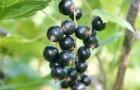 Использование cмородины черной в диетах