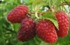 Использование малины в диетах