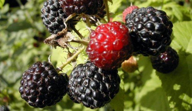 Кулинария для диабетика — ежевика