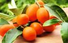 Кумкват – иммуностимулирующий, противораковый фрукт