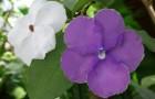 Брунфельзия широколистная