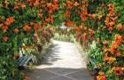 Формирование лиан на других растениях