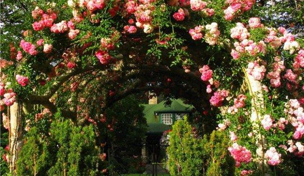 Формирование роз на арке