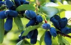 Формы кроны ягодных кустарников