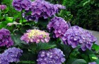 Гидрангия садовая