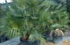 Хамеропс приземистый, или европейская веерная пальма