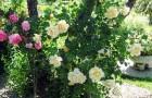 Крупноцветковые плетистые розы