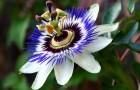 Маракуйя, гранадилла и другие страстоцветы