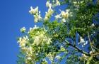 Моринга – полезное и съедобное чудо дерево
