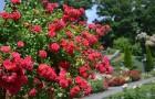 Омолаживание роз
