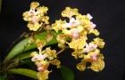 Открыт новый потрясающий сорт орхидей