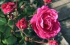 Парковые (кустарниковые) розы и декоративные шиповники