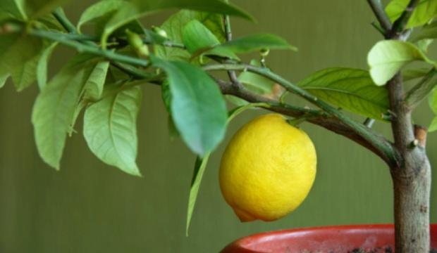 Плодовый сад в комнате вашего дома