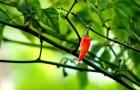 Происхождение перца чили