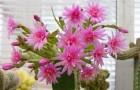 Рипсалидопсис розовый