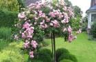 Штамбовые кустовые розы
