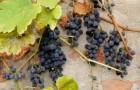Виноград vitis vinifera, v. labrusca и гибридные формы