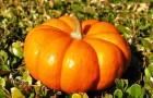 5 лучших полезных свойств тыквы