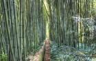 Бамбуковая роща в Прафранс
