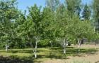 Формы кроны плодовых деревьев