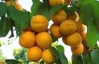 Обрезка абрикосов