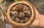 Обрезка бразильского ореха, бертоллетии
