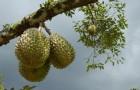 Обрезка дуриана