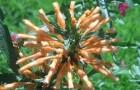 Обрезка леонотиса