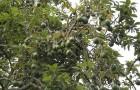 Обрезка тропических плодовых деревьев