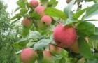 Обрезка яблони