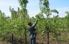 Покупка молодых деревьев