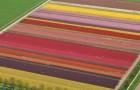 Тюльпановые плантации