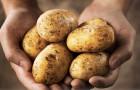 Удивительная польза картофеля